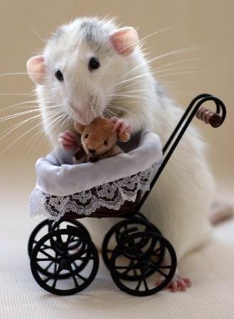 ratinho2