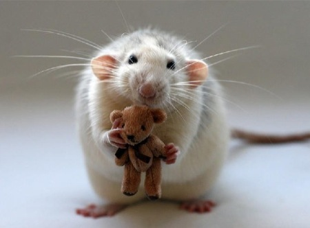 ratinho3
