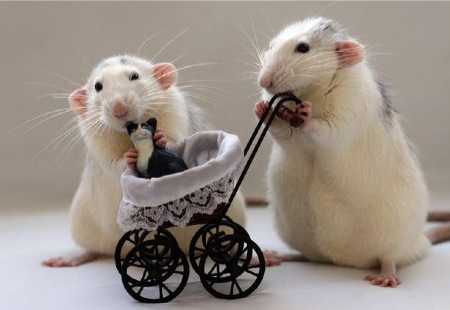ratinho9